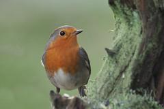 robin (alfred.reinartz) Tags: singvogel rotkehlchen robin erithacusrubecula bird