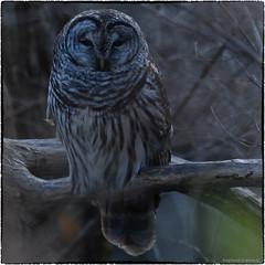 Barred Owl (RKop) Tags: barredowl owl raphaelkopanphotography californiawoodspark cincinnati ohio d500 nikon 200500mmf56edvrzoom
