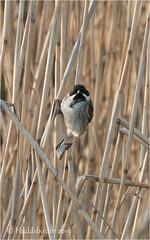 Reed Bunting (Huddsbirder) Tags: huddsbirder lakenheath rspb a6500 sony fe70300mm reedbunting