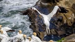 Touchdown (Stefan Marks) Tags: animal australasiangannet bird gannet landing morusserrator nature outdoor aucklandwaitakere northisland newzealand