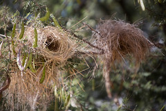 House of Straw _4976-2 (hkoons) Tags: southernafrica birdsnest africa african namibia tree animal animals aviary beast bird birds feathers fowl growth home landscape nest outdoors outside panorama plants vegetation wing winged