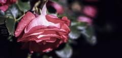 Hope (Vanessa wuz Here) Tags: 90mm macro macroflowers rose red flora lowlight petals