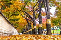 Road in Gyeongju (South Korea) during Autumn (patuffel) Tags: gyeongju southkorea foliage autumn road alley leaf red leafes tree trees tumuli park leica m10 28mm