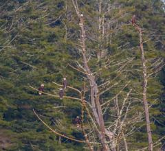 Six Perched Eagles (John Kocijanski) Tags: baldeagle eagle birds birdofprey animals wildlife nature trees canon400mmf56 canon7d