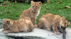 asiatic lion Blijdorp 094A0548 (j.a.kok) Tags: animal asia azie asiaticlion aziatischeleeuw blijdorp mammal zoogdier dier predator leeuw lion pantheraleopersica