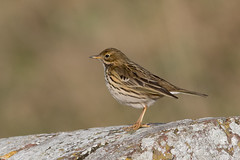 Meadow Pipit-63 (davidgardiner8) Tags: birds meadowpipit pipits shorehamfort westsussex
