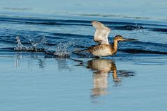 Water skimming (ChicagoBob46) Tags: piedbilledgrebe grebe bird jndingdarlingnwr florida sanibel sanibelisland nature wildlife ngc naturethroughthelens coth5 npc