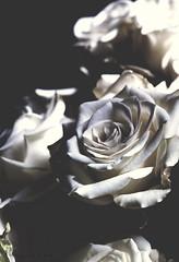 Beauty's Riposte (ThisIsMorgan) Tags: stilllife roses winter monochrome flowers flora floral fujifilm xt2