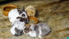Rabbits (mwdent91) Tags: asia butterflyhouse cameronhighlands malaysia pahang tanahrata my
