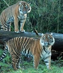 sumatran tiger Burgerszoo 094A0755 (j.a.kok) Tags: animal asia azie tijger tiger burgerszoo burgerzoo mammal zoogdier dier predator sumatraansetijger sumatrantiger sumatra pantheratigrissumatrae
