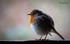 Robin on the hide ledge. (vickyouten) Tags: robin robinredbreast nature wildlife naturelovers britishwildlife wildlifephotography nikon nikond7200 nikonphotography nikkor55300mm penningtonflash leigh uk vickyouten
