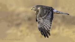 "Northern Harrier ""Grey Ghost"" in-flight IMG_2637 (ronzigler) Tags: northern harrier grey ghost bird raptor birdofprey nature wildlife avian birdwatcher"