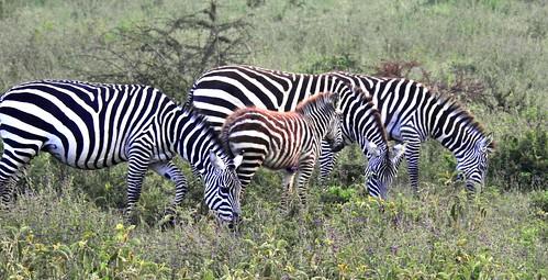 0003ex2 Common Zebras