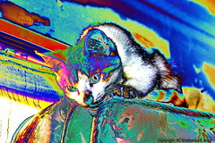 Frodo Curved (fishmonger45) Tags: hss photoshop cats kittens greatphotographers