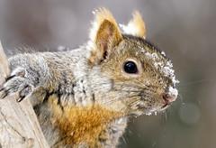 _A999981 (mbisgrove) Tags: sony a99m2 squirrel a99ii snow sal70400g2 portrait