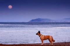Posando (Carpetovetón) Tags: luna playa ostende perro anochecer agua mar marcantábrico marina nikond200 tamron70200