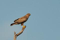 ZIM_6030 (lucvanderbiest) Tags: yellowbilledkite geelsnavelwouw safaririt zimangaprivatereserve southafrica
