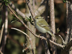 A87A4870 Yellow-browed warbler (steve.ray50) Tags: 2019 dover