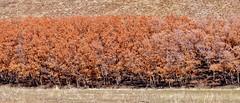 Dormant Rows (Robert Cowlishaw (Mertonian)) Tags: mertonian robertcowlishaw canon powershot sx70hs canonpowershotsx70hs beforespring winter2019 dry photophari trees oakbrush layers