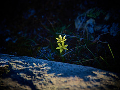 Antes de la oscuridad (Luicabe) Tags: airelibre botánica cabello enazamorado exterior flor gagea hierba liliáceas liquen luicabe luis luz musgo naturaleza ngc oscuridad planta roca sayago sol yarat1 zamora