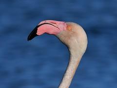 flamant rose 19C_1473 (Bernard Fabbro) Tags: flamant rose flamingo