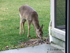 Lily Nibbler (Picsnapper1212) Tags: whitetail deer doe animal mammal nature hungry backyard lebanon ohio yearling