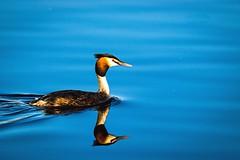 Reflections (Kristian Ingemansson) Tags: spegling skäggdopping fågel
