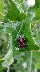 Harlequin ladybird pupae, Harmonia axyridis (1) (Geckoo76) Tags: insect beetle ladybird ladybug harlequinladybirdpupae harmoniaaxyridis