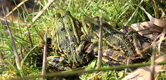 green frogs (bugman11) Tags: fauna animal animals amphibians amphibian canon 100mm28lmacro amsterdamsewaterleidingduinen frog frogs green nature nederland thenetherlands grass spring macro 1001nightsthenew