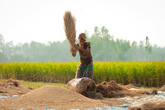 Paddy Threshing (Kabya's Photography) Tags: bangladesh people paddy farmer threshing crop lifestyle harvest