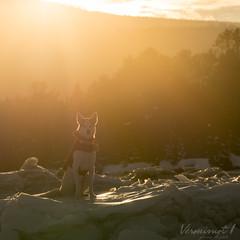 Lou dans le soleil et dans le froid (Véronimot) Tags: chien husky soleil littledoglaughedstories