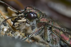 Cylindera trisignata (Calomera littoralis nemoralis)  Principina (GR) Italy - luglio 2008 (vespa90ss) Tags: coleoptera cicindelinae cicindelidae coleotteri bug insecta insetto macro insect beetle faunadunale