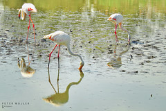 Flamingo dinner time (petermüller21) Tags: provence animals flamingo france 2018