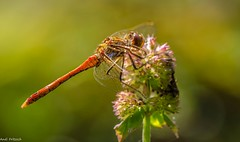 dragon-fly (Andi Fritzsch) Tags: dragonfly macro macrophotography insect insectphotography nature naturephotography wasserminze flowercolors flowers flowerpower closeup