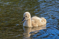 Cygnet on the Lake. (womboyne7) Tags: bird swan baby cygnet water blue green lake swimming reflections