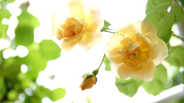 Обои макро, желтый, роза, бутон картинки на рабочий стол, раздел цветы - скачать