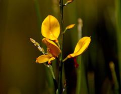 Ginesta.- (angelalonso57) Tags: capture nature macro shot natura explore explorar amarillo yellow verde green canon eos 7d mark ii tamron 16300mm f3563 di vc pzd b016 ƒ63 3000 mm 1640 100