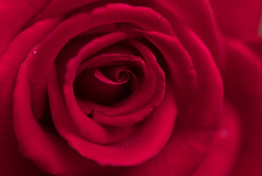 Happy Valentine's Day! (Irina1010) Tags: rose flower red macro petals nature valentinesday beautiful canon