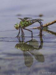 Anax ovipositando (Ricardo Menor) Tags: odonatos odonata anisópteros libélulas dragonfly dragonflies airelibre iluminaciónnatural canon60d insecto macrofotografía anaximperator hembra female 2012 lasdamas lasdamas2012 puesta