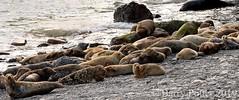 Seals at Ravenscar (Barry Potter (EdenMedia)) Tags: barrypotter edenmedia nikon d7200 ravenscar seals