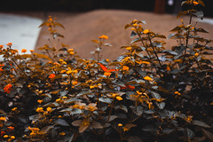 Borboleta (Erika Mourão Fotografia) Tags: orange laranja borboleta buterfly color amazing fary garden yard jardim encantando canon 6d bemflickrbembrasil brasil minas gerais cores 50mmf14