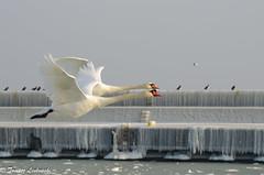 Mute swan (Cygnus olor) Łabędź niemy (tomaszberlin) Tags: bird animal swan nature wildlife poland gdynia harbor birdlife winter snow sea baltic nikon birdwatching polska zima muteswan cygnusolor łabędźniemy bokeh
