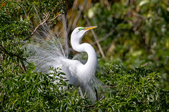 Look at me! (tspine) Tags: gatorland greategret