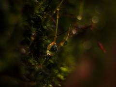 One Single Drop (ursulamller900) Tags: pentacon3530 extensiontube 20mm makroring moos moss droplet tropfen onesingledrop smileonsaturday