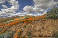 Rivers of Floral Gold (Michael F. Nyiri) Tags: walkercanyon lakeelsinore californiapoppy poppies flowers flora golden colorful nature superbloom