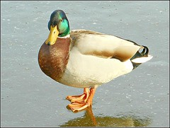 Mallard on Ice .... (** Janets Photos **) Tags: uk hull citycentres publicparksponds waterfowl ducks mallards