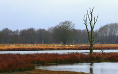 landscape with sheep (HansHolt) Tags: landscape water tree grass sheep birds reflection boerenveensche plassen drenthe netherlands canon 6d canoneos6d canonef24105mmf4lisusm smileonsaturday