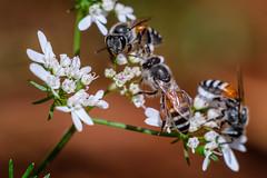 HSCF0442 (Deepak Kaw) Tags: fujifilm vivitar macro composition colours nature bokeh beautiful bee insect