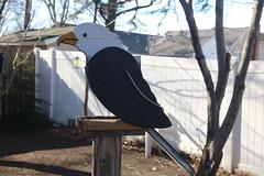 Bald Eagle in Yard (hbickel) Tags: baldeagle bald backyarddeck trees canont6i canon photoaday pad