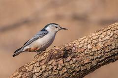 White Breasted Nuthatch (Lynn Tweedie) Tags: wood beak tail wing canon ngc animal nuthatch 7dmarkii missouri sigma150600mmf563dgoshsm eye tree eos bird feathers branch